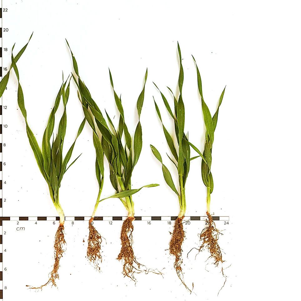 Дослід, Фрея-Аква™ Зернові С(11)