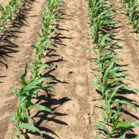 Дослід, Фрея-Аква™ Кукурудза С(15)