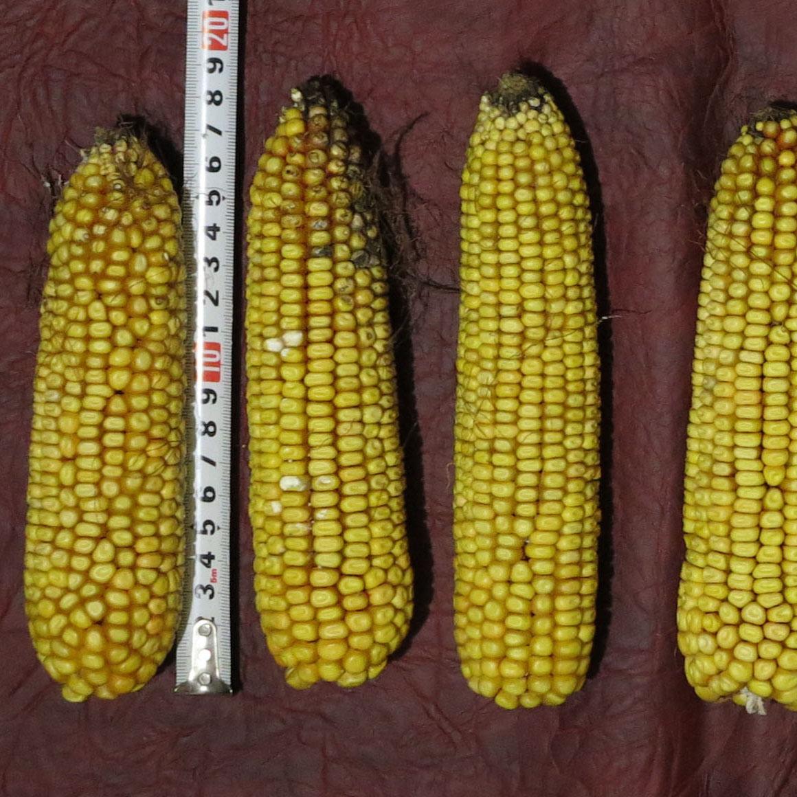 Контроль, кукурудза